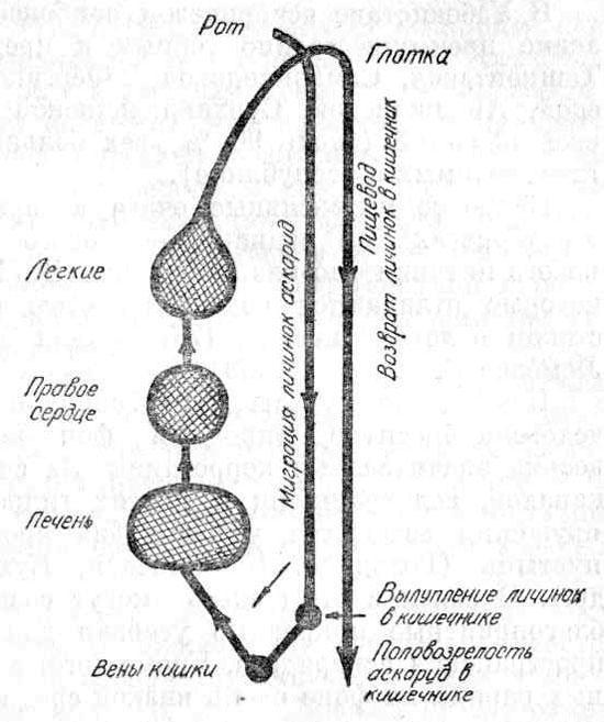 Схема миграции личинок аскарид