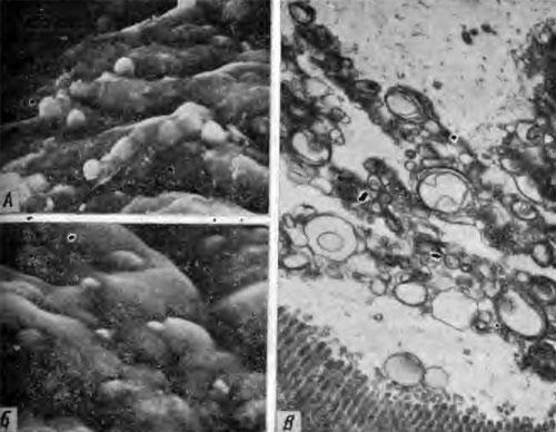 Транспорт липосом через слой слизистых наложений на люминальной поверхности тощей кишки крысы