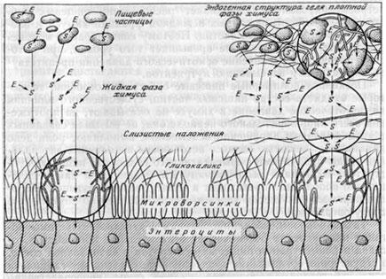 Схема фермеит-субстратных взаимодействий в реакционных зонах тонкой кишки